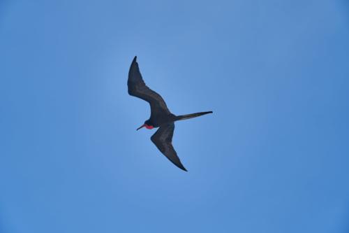 Unser erster Fregattvogel schwebt über der Angelito, Galápagos, Ecuador 2019
