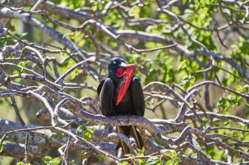 Fregattvogel, macht wohl grad Pause vom Balzgeschäft, North Seymour, Galápagos, Ecuador 2019