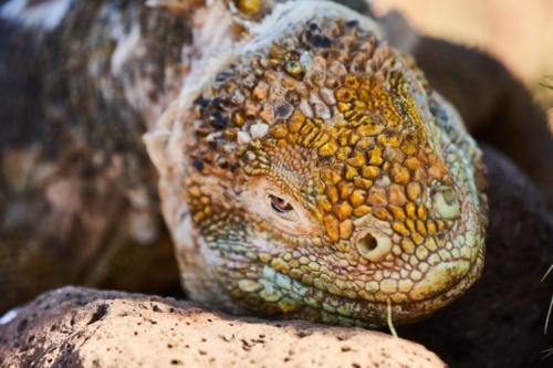 Schau mir in die Augen Kleines, Galápagos Landleguan (auch Drusenkopf genannt), North Seymour, Galápagos, Ecuador 2019