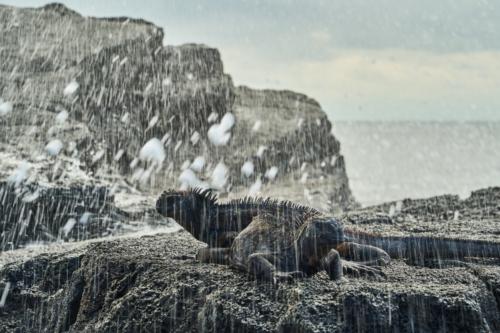Meerechsen in Meeresgischt, Chinese Hat, Galápagos, Ecuador 2019