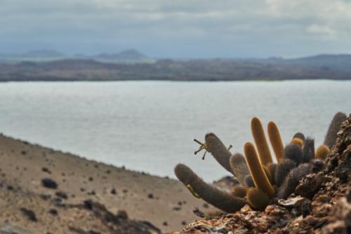 Ab und an mal ein Kaktus, Bartolomé, Galápagos, Ecuador 2019