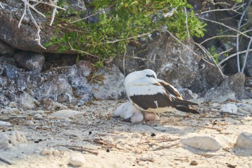 Nascatölpel mit Küken(früher mal Maskentölpel)Rotfußtölpel, Genovesa, Galápagos, Ecuador 2019