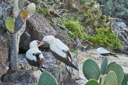 Schnäbelnde Nascatölpel, Genovesa, Galápagos, Ecuador 2019