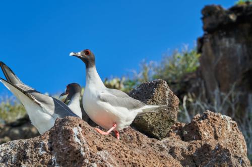 Glotzvogel, Genovesa, Galápagos, Ecuador 2019