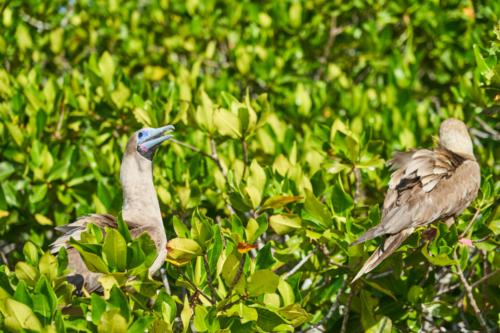 Rotfußtölpel haben nicht nur rote Füße, Genovesa, Galápagos, Ecuador 2019