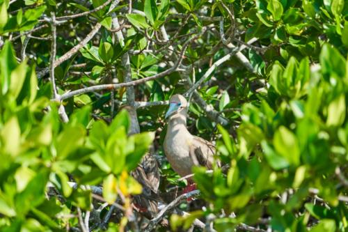 Rotfußtölpel, Genovesa, Galápagos, Ecuador 2019