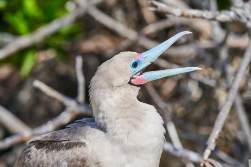 Rooooobert! Genovesa, Galápagos, Ecuador 2019