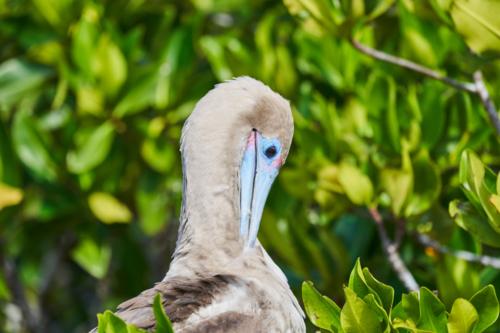 Erstmal putzen, Rotfußtölpel, Genovesa, Galápagos, Ecuador 2019