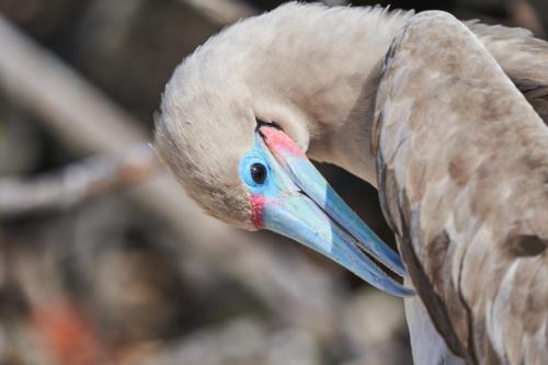 Da juckts, Rotfußtölpel, Genovesa, Galápagos, Ecuador 2019