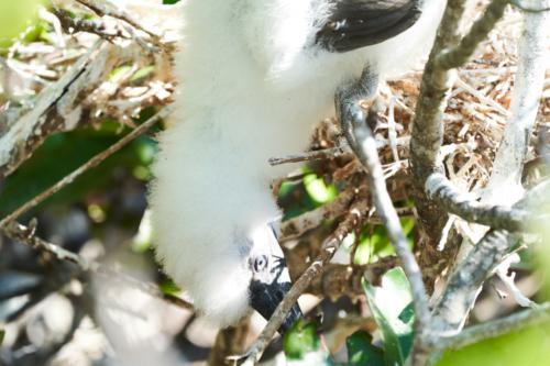 Mir ist da was runter gefallen, Rotfußtölpelküken im Nest, Genovesa, Galápagos, Ecuador 2019