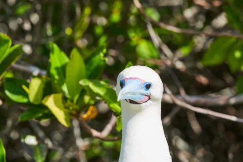Auch schön, Rotfußtölpel mit weißem Gefieder, Genovesa, Galápagos, Ecuador 2019