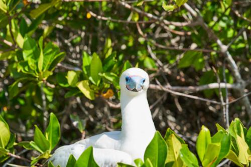 Rotfußtölpel mit weißem Gefieder, Genovesa, Galápagos, Ecuador 2019