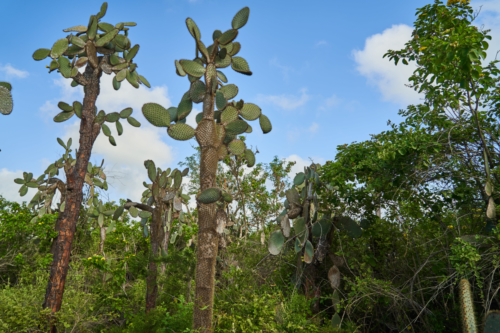 Kakteenwald in der Charles Darwin Station, Santa Cruz, Galápagos, Ecuador 2019