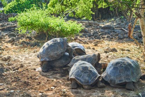 Nachzucht der berühmten Schildkröten, Charles Darwin Station, Santa Cruz, Galápagos, Ecuador 2019