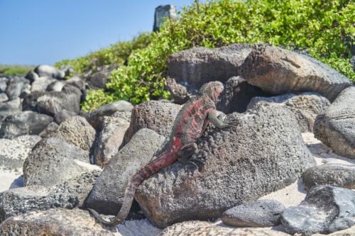 Meerechse, sieht schon wieder anders aus als auf der letzten Insel, Española, Galápagos, Ecuador 2019