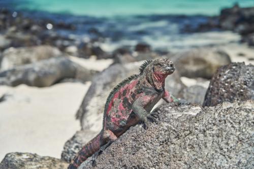 Meerechse, Española, Galápagos, Ecuador 2019