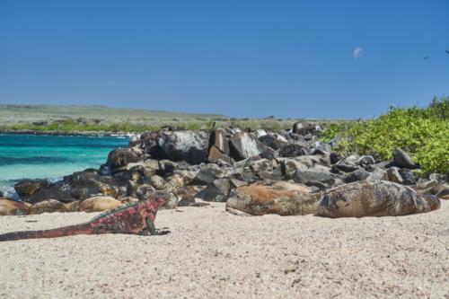 Meerechse vor Seelöwen, Española, Galápagos, Ecuador 2019