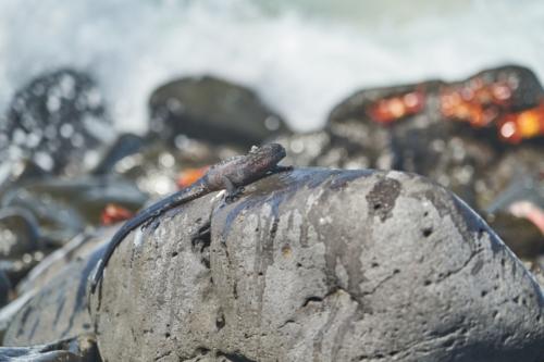 Meerechsen Nachwuchs, Española, Galápagos, Ecuador 2019