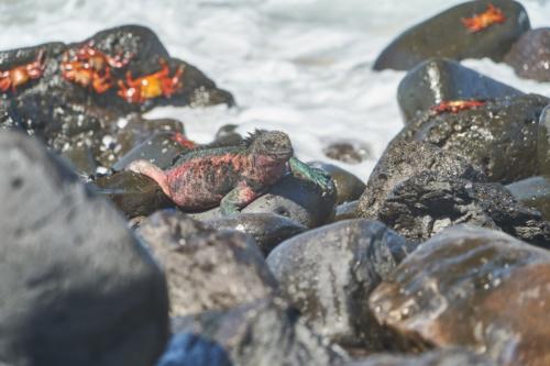 Echse kunterbunt, Española, Galápagos, Ecuador 2019