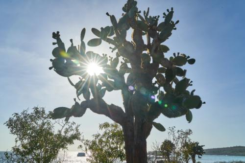 Kaktusbaum, Santa Fe, Galápagos, Ecuador 2019