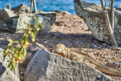Bei den Leguanen auf Santa Fe hängt immer ein Nackenstachel nach rechts, Santa Fe, Galápagos, Ecuador 2019