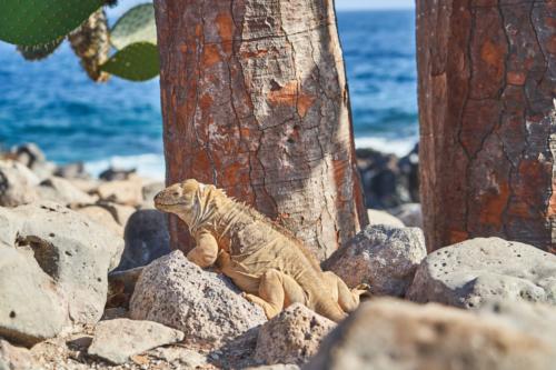 Besitzer dieser zwei Kakteen, Santa Fe, Galápagos, Ecuador 2019