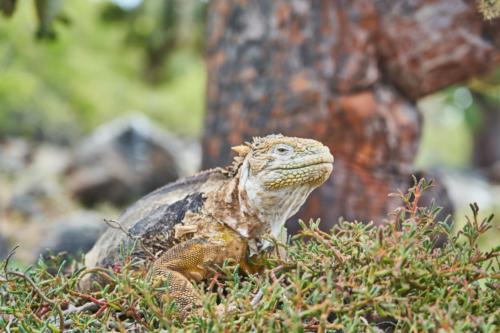 Aber nicht an meinen Kaktus gehen, Santa Fe, Galápagos, Ecuador 2019