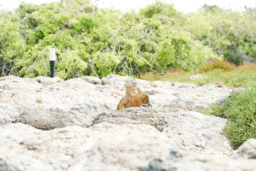Leguan auf Touriweg, Santa Fe, Galápagos, Ecuador 2019