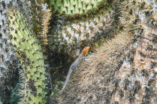Lavaechsen Weibchen, South Plaza Island, Galápagos, Ecuador 2019