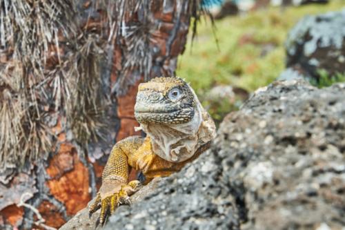 Landleguan, South Plaza Island, Galápagos, Ecuador 2019