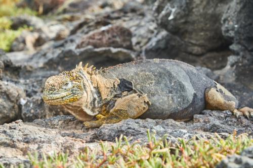 Wie gesagt, noch oben, South Plaza Island, Galápagos, Ecuador 2019